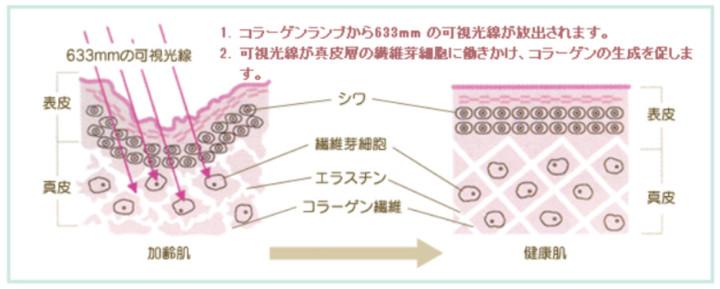 コラーゲンライト 肌断面図