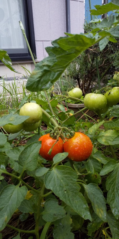 ミニトマト (2)